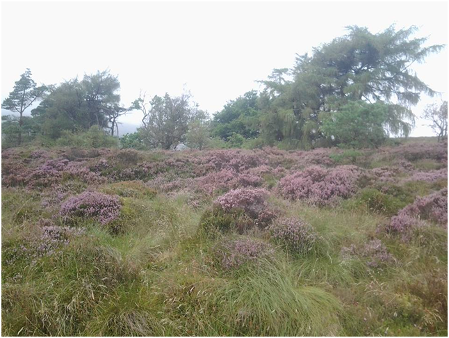 Walking up Windy Hill, Muirshiel Country Park. This photo (taken on my tablet) doesn't do justice to the brilliant hue of the heather. Wish I'd taken it with my camera..png