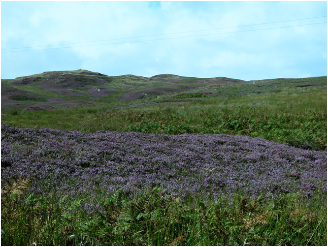 Highly scented heather along the road to the Mull of Kintyre lighthouse..png