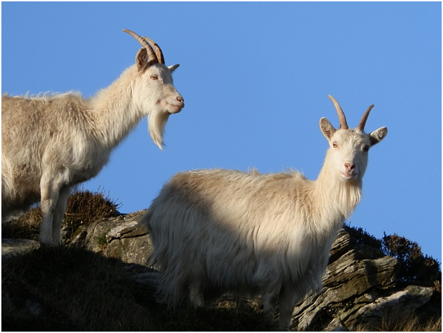 The beautiful Carradale goats.png